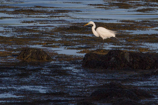Photograph - Great Egret At Avery Point by Kirkodd Photography Of New England