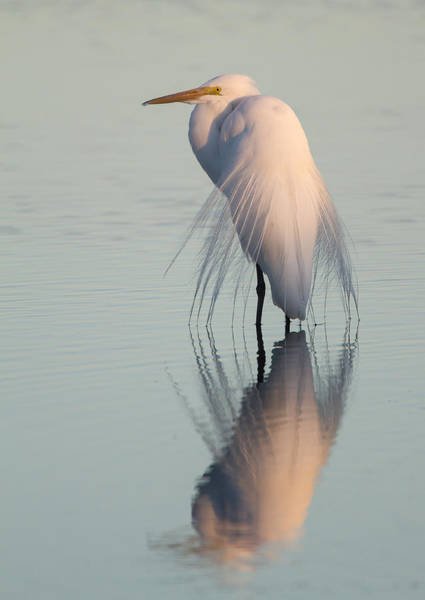 Wall Art - Photograph - Great Egret At Sunset by Mike Dunn