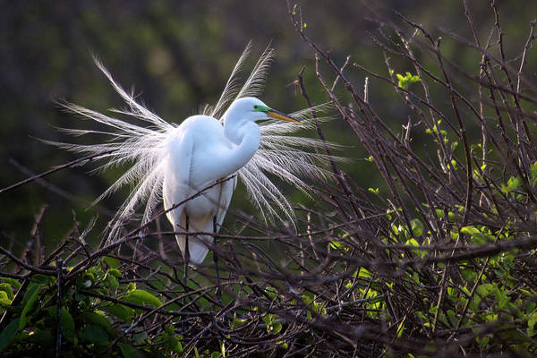 The Great Outdoors Photograph - Great Egret Breeding Plumage by Mark Newman