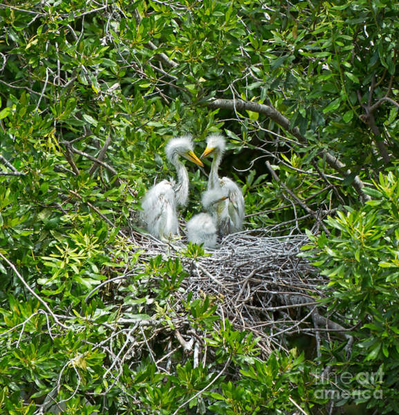 Wall Art - Photograph - Great Egret Chicks by Louise Heusinkveld