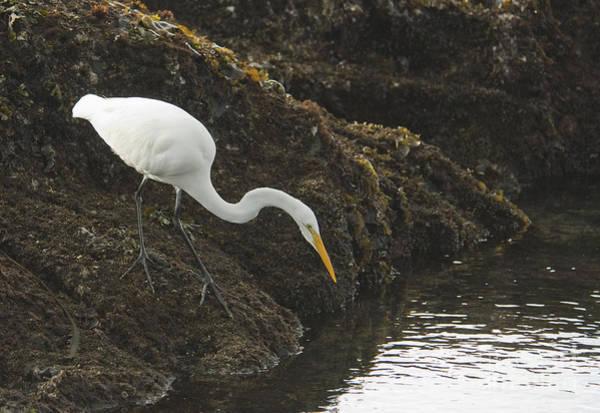 Photograph - Great Egret by Dan Suzio