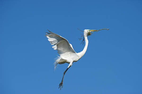 Gulf State Park Photograph - Great Egret by David Tipling