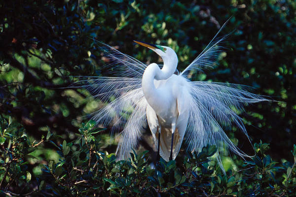 Photograph - Great Egret Displaying Plumes by Bradford Martin