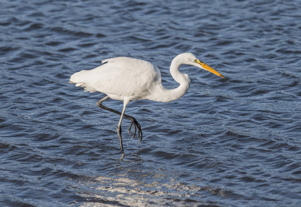 Photograph - Great Egret Fishing by Loree Johnson