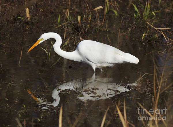 Wall Art - Photograph - Great Egret Fishing by Louise Heusinkveld