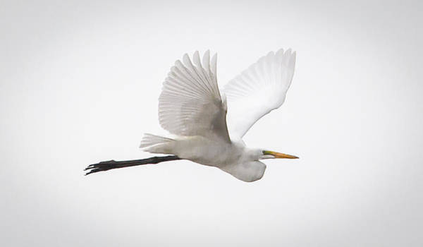 Photograph - Great Egret Fly By by Ricky L Jones