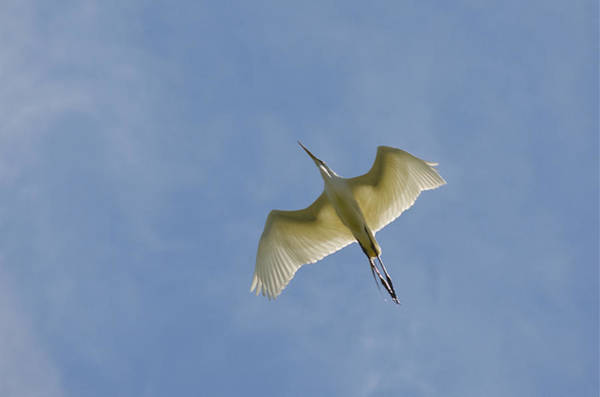 Great Egret Flyover 3 Art Print