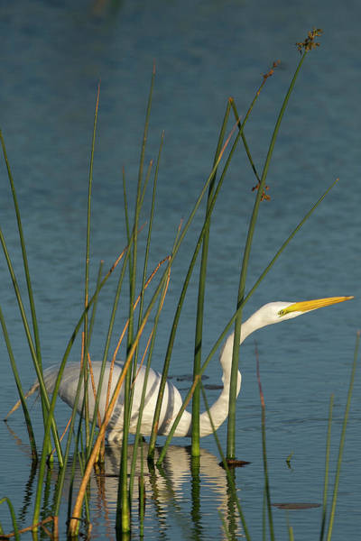Ardea Photograph - Great Egret Hunting For Its Food by Maresa Pryor