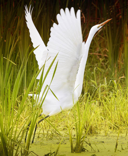 Photograph - Great Egret In Color by Ricky L Jones