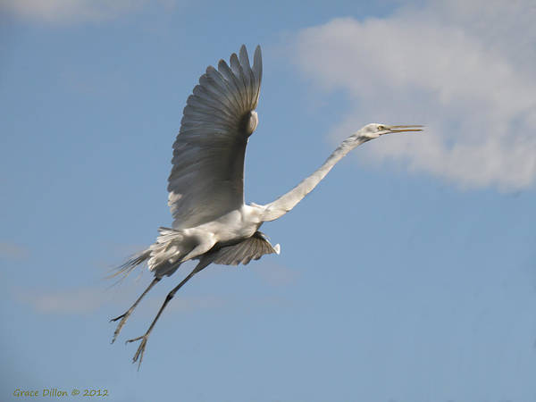 Photograph - Great Egret In Flight by Grace Dillon