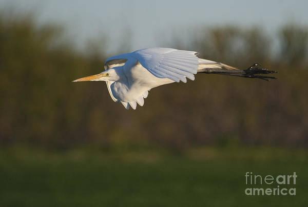 Heide Stover - Great Egret in Flight