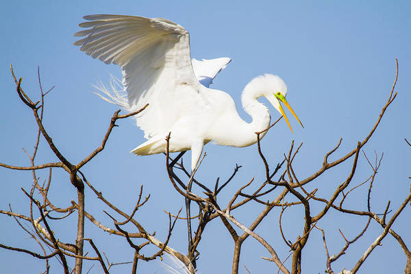 Wall Art - Photograph - Great Egret In Golden Hour Sunset by Ellie Teramoto