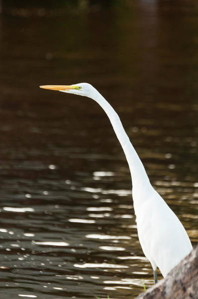 The Great Outdoors Photograph - Great Egret by John Elk Iii