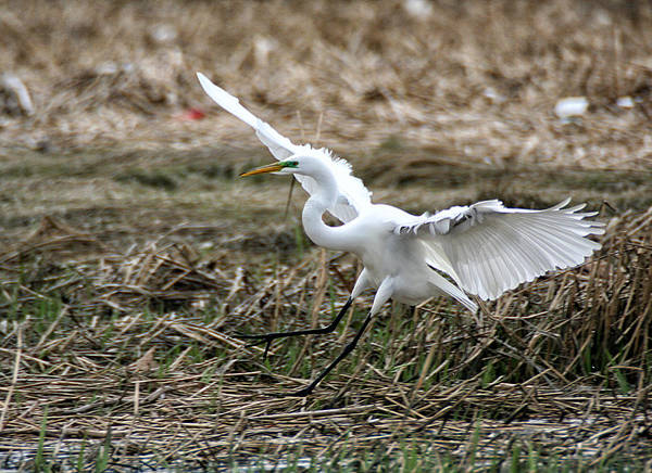 Photograph - Great Egret Landing by William Selander