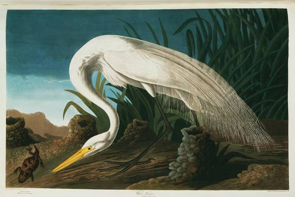 Aquatint Photograph - Great Egret by Natural History Museum, London/science Photo Library