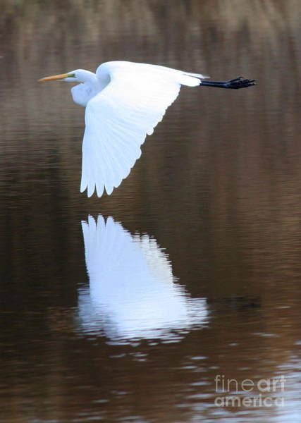 Photograph - Great Egret Over The Pond by Carol Groenen