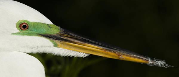 Photograph - Great Egret Portrait by Sean Allen
