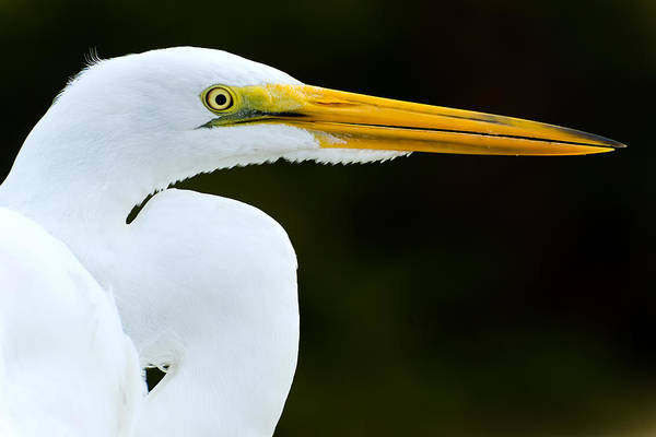 Photograph - Great Egret Profile by Clint Buhler