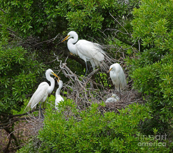 Wall Art - Photograph - Great Egret Rookery by Louise Heusinkveld