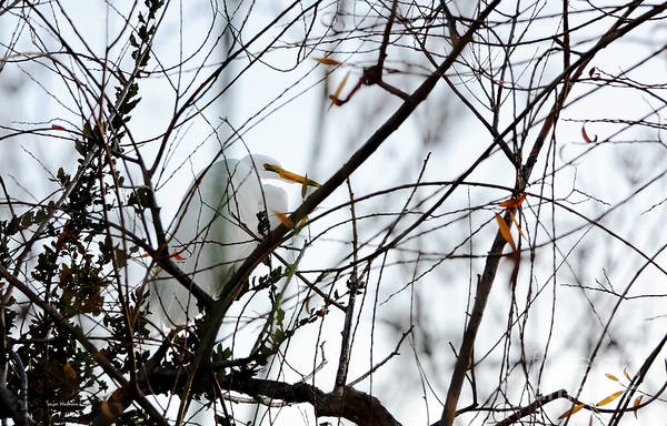 Photograph - Great Egret Roosting In Winter by Susan Wiedmann