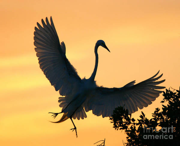 Photograph - Great Egret Sunset Ballet by John F Tsumas