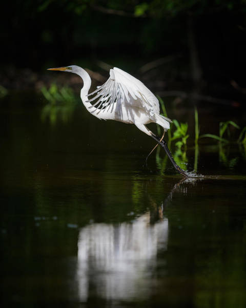 Photograph - Great Egret Takeoff by Chris Hurst