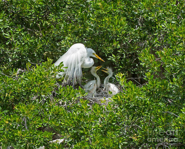 Wall Art - Photograph - Great Egret With Chicks On The Nest by Louise Heusinkveld