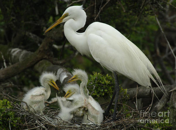 Nesting Photograph - Great Egret With Young by Bob Christopher