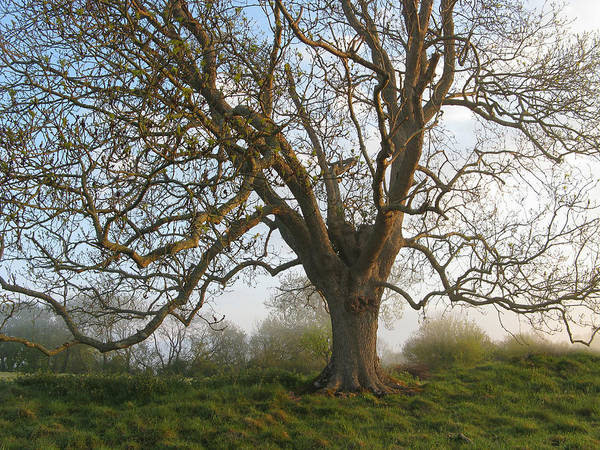 Photograph - Great English Oak by Charmaine Zoe