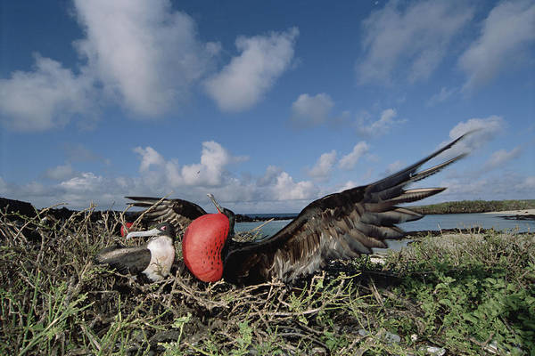 Photograph - Great Frigatebird Female Eyes Courting by Tui De Roy