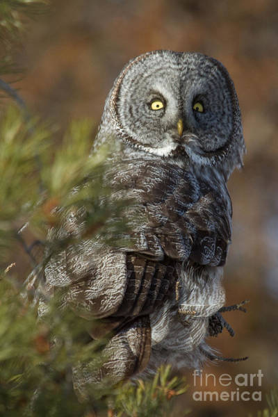 Photograph - Great Gray Owl  14 by Katie LaSalle-Lowery
