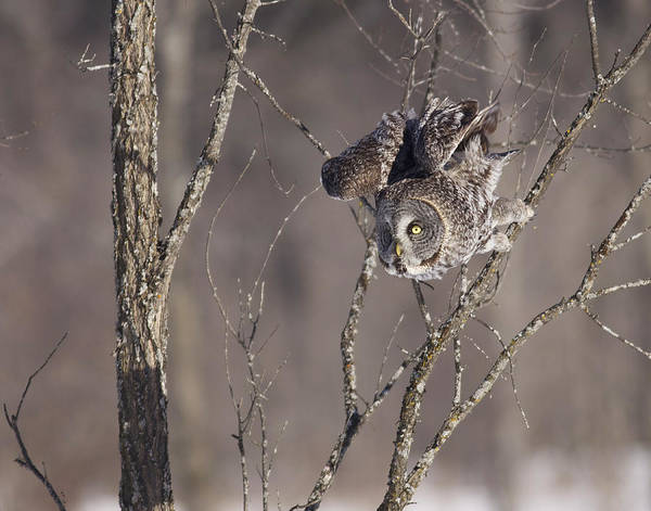 Photograph - Great Gray Owl by Brian Magnier