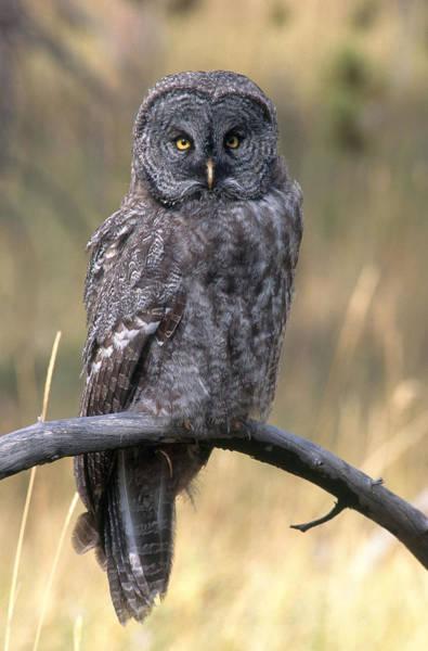 Wall Art - Photograph - Great Gray Owl by Craig K. Lorenz