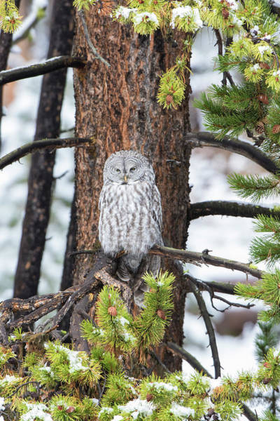 Wall Art - Photograph - Great Gray Owl, In Snowstorm by Richard and Susan Day