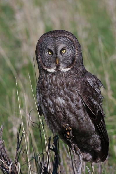 Wall Art - Photograph - Great Gray Owl by Ken Archer