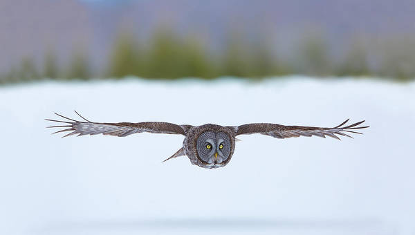 Great Gray Owl On The Hunt Art Print