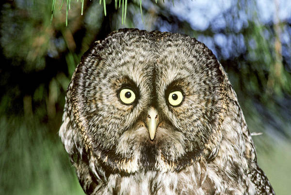Wall Art - Photograph - Great Gray Owl by Thomas And Pat Leeson