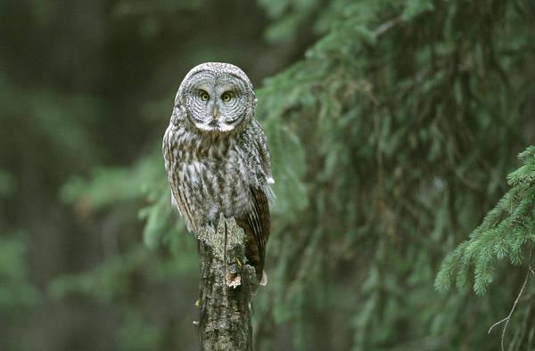 Wall Art - Photograph - Great Gray Owl, Yellowstone National by Craig K. Lorenz