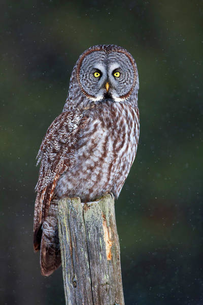 The Great Outdoors Photograph - Great Grey On Post Strix Nebulosa by Jim Cumming