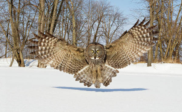 Flying Bird Photograph - Great Grey Owl Attack by Rick Dobson