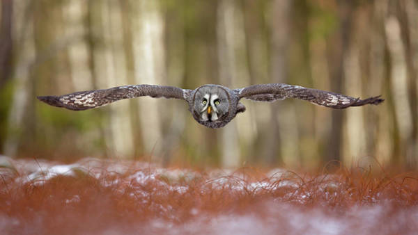 Flying Bird Photograph - Great Grey Owl by Milan Zygmunt
