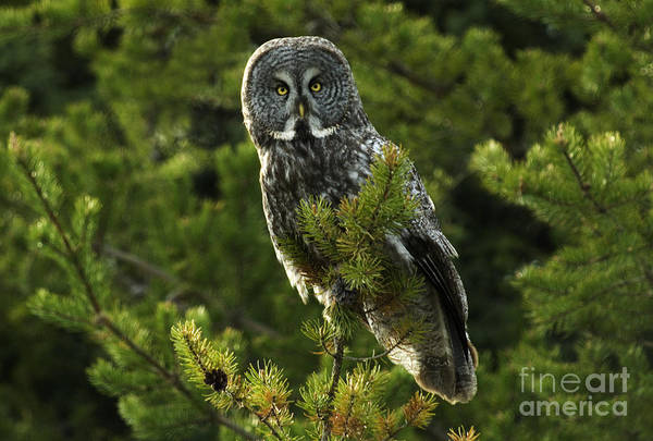 Owl In Flight Photograph - Great Grey Owl On The Hunt by Bob Christopher