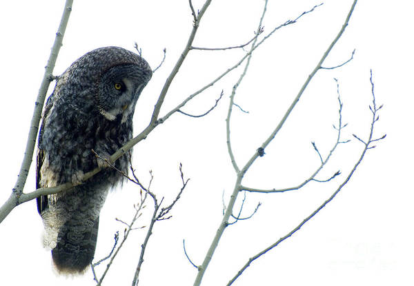 Owl In Flight Photograph - Great Grey Owl On Watch by Bob Christopher