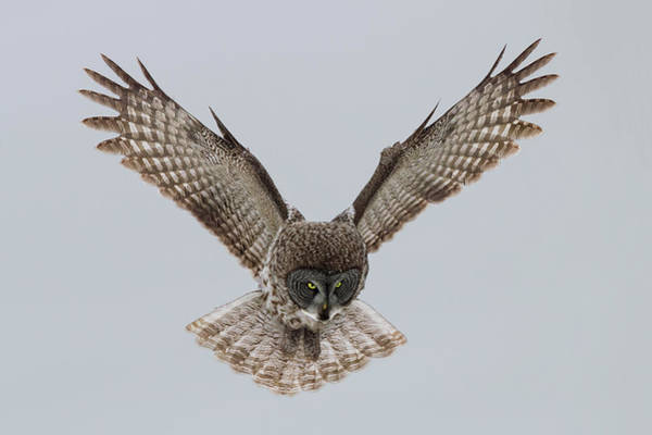 Fly Photograph - Great Grey Owl by Sufang Wang