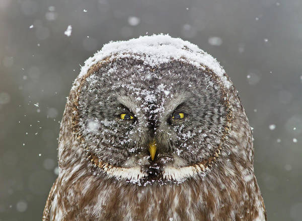 Cold Weather Wall Art - Photograph - Great Grey Owl Winter Portrait by Mircea Costina
