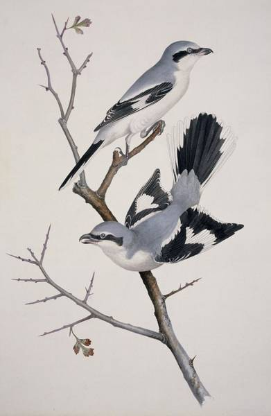 Bird Strike Wall Art - Photograph - Great Grey Shrikes, 19th Centiry Artwork by Science Photo Library