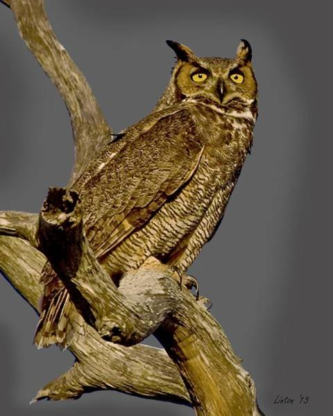 Photograph - Great Horned Owl 2  by Larry Linton