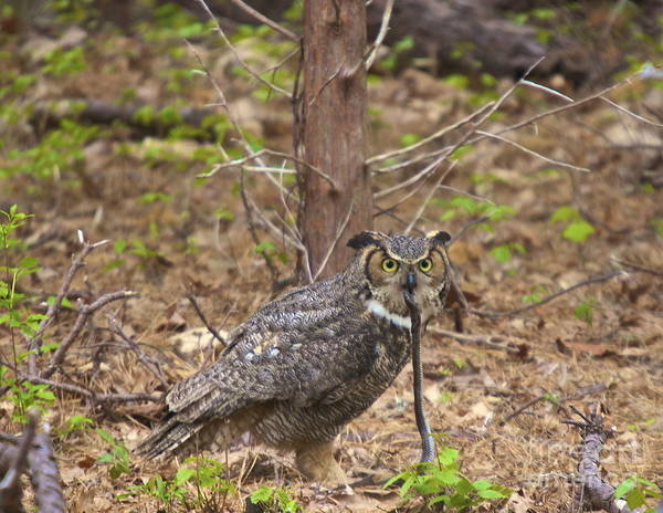 Photograph - Great Horned Owl by Amazing Jules