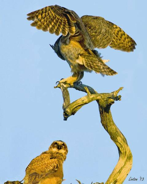 Photograph - Great Horned Owl And Chick by Larry Linton