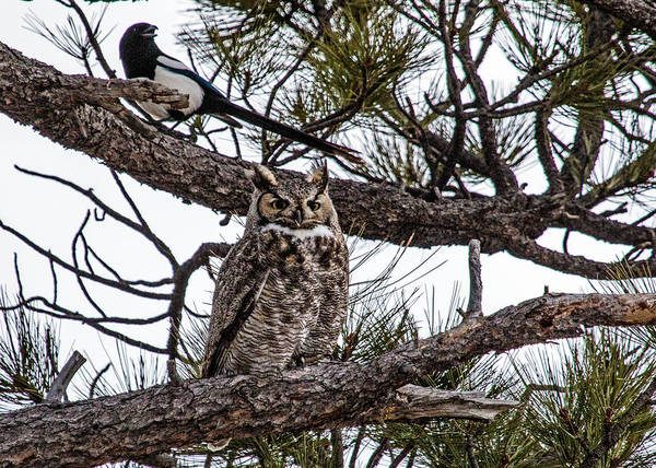 Wall Art - Photograph - Great Horned Owl And Magpie by Dawn Key